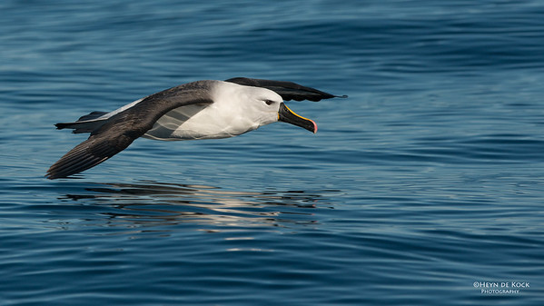 Indian Yellow-nosed Albatross, Wollongong Pelagic, NSW, Jul 2014-7