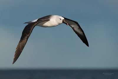 Indian Yellow-nosed Albatross, Wollongong Pelagic, NSW, Jul 2014-9