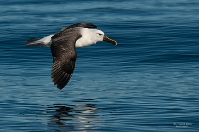 Indian Yellow-nosed Albatross, Wollongong Pelagic, NSW, Jul 2014-3