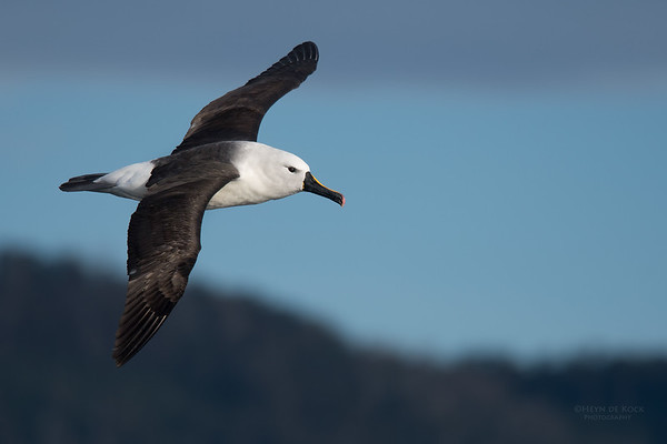 Indian Yellow-nosed Albatross, Eaglehawk Neck Pelagic, TAS, Sept 2016-1