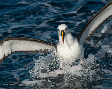 Indian Yellow-nosed Albatross, Wollongong Pelagic, NSW, Jul 2014-2
