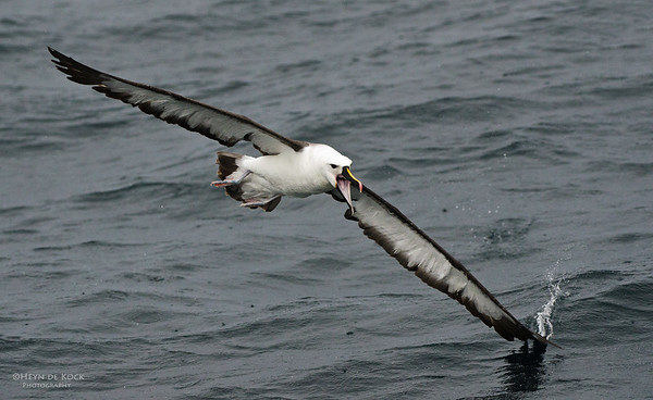 Indian Yellow-nosed Albatross, Wollongong Pelagic, NSW, Aus, Jun 2012-1