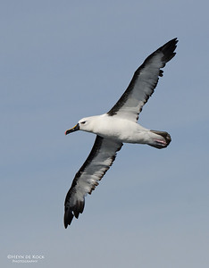 Indian Yellow-nosed Albatross, Wollongong Pelagic, NSW, Aus, Sep 2012