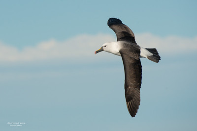 Indian Yellow-nosed Albatross, Wollongong Pelagic, NSW, Jul 2014-6