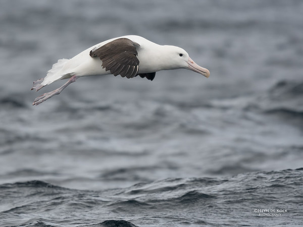 Northern Royal Albatross, Eaglehawk Neck Pelagic, TAS, Sept 2016-8