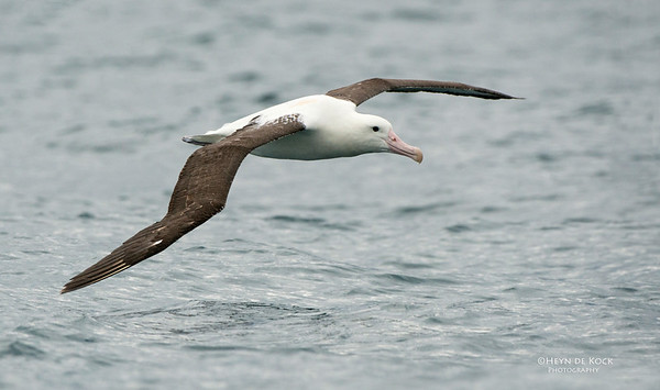 Northern Royal Albatross, Kaikoura, SI, NZ, Jan 2013