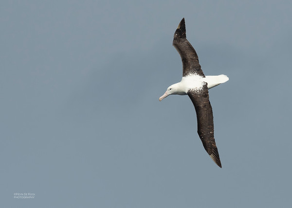 Northern Royal Albatross, Eaglehawk Neck Pelagic, TAS, Dec 2019-3