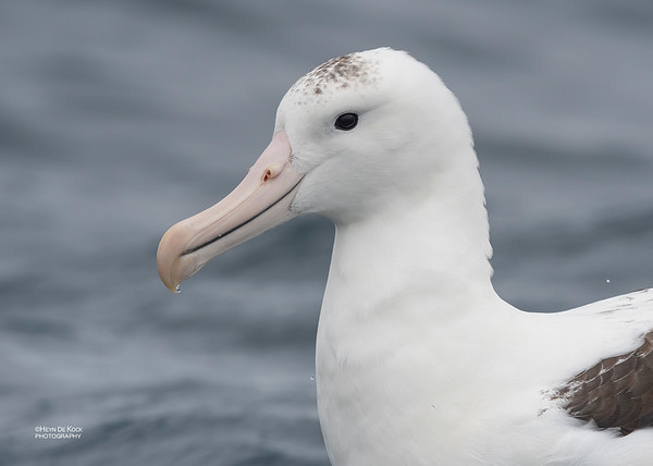 Northern Royal Albatross, Eaglehawk Neck Pelagic, TAS, Dec 2019-2