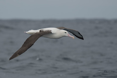 Northern Royal Albatross, Eaglehawk Neck Pelagic, TAS, Sept 2016-9