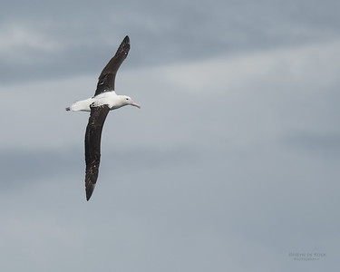 Northern Royal Albatross, Eaglehawk Neck Pelagic, TAS, Sept 2016-4