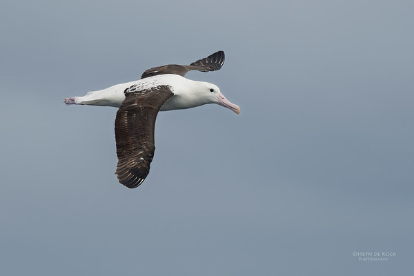 Northern Royal Albatross, Eaglehawk Neck Pelagic, TAS, Sept 2016-5