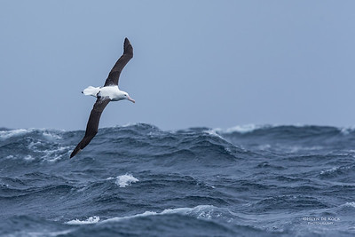Northern Royal Albatross, Eaglehawk Neck Pelagic, TAS, Sept 2016-1