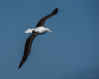 Northern Royal Albatross, Wollongong Pelagic, NSW, Aus, Oct 2014-5