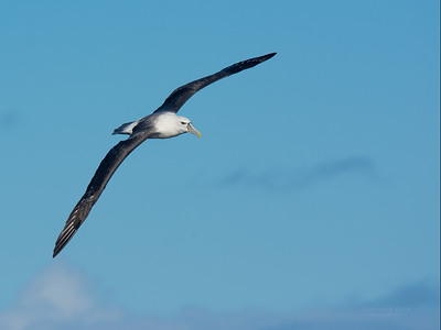 Shy Albatross, Eaglehawk Neck Pelagic, TAS, May 2016-11