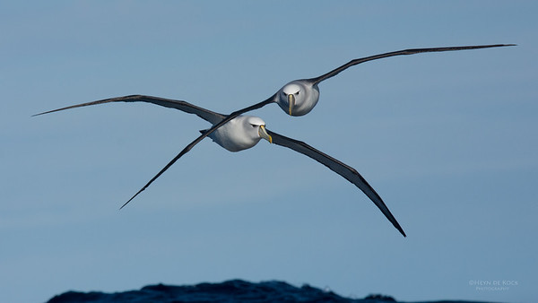 Shy Albatross, Eaglehawk Neck Pelagic, TAS, July 2015-8