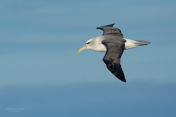 Shy Albatross, Eaglehawk Neck Pelagic, TAS, July 2015-5