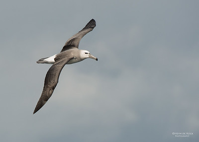 Shy Albatross, imm, Wollongong Pelagic, NSW, Aus, Aug 2014-1