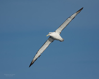 Shy Albatross, Eaglehawk Neck Pelagic, TAS, July 2015-7