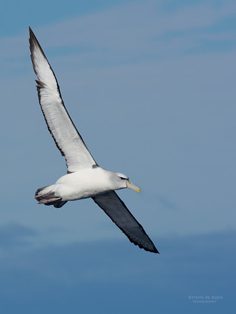 Shy Albatross, Eaglehawk Neck Pelagic, TAS, July 2015-11