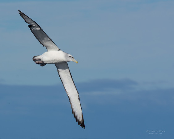 Shy Albatross, Eaglehawk Neck Pelagic, TAS, July 2015-12