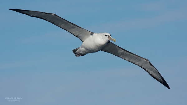 Shy Albatross, Eaglehawk Neck Pelagic, TAS, July 2015-9