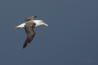 Shy Albatross, Eaglehawk Neck Pelagic, TAS, July 2015-3