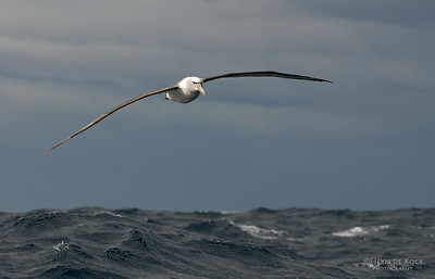 Shy Albatross, Eaglehawk Neck Pelagic, TAS, Aus, Feb 2011