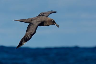 Sooty Albatross, Eaglehawk Neck Pelagic, TAS, May 2016-1