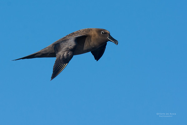 Sooty Albatross, Eaglehawk Neck Pelagic, TAS, May 2016-4