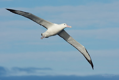 Southern Royal Albatross, Eaglehawk Neck Pelagic, TAS, July 2015-2