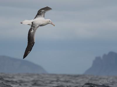 Southern Royal Albatross, Eaglehawk Neck Pelagic, TAS, Sept 2016-3