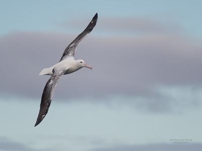 Southern Royal Albatross, Eaglehawk Neck Pelagic, TAS, Sept 2016-1