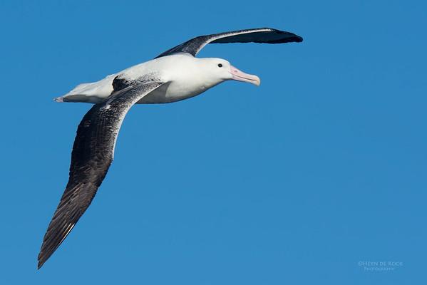 Southern Royal Albatross, Eaglehawk Neck Pelagic, TAS, May 2016-2