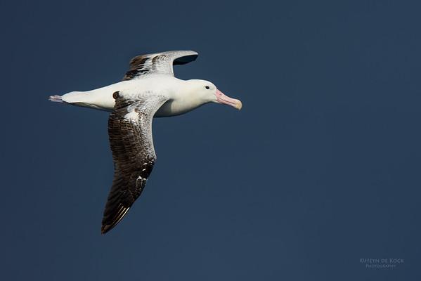 Southern Royal Albatross, Eaglehawk Neck Pelagic, TAS, July 2015