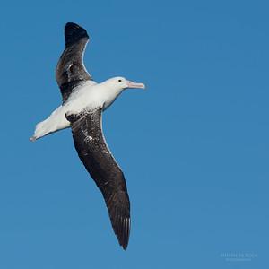 Southern Royal Albatross, Eaglehawk Neck Pelagic, TAS, May 2016-1