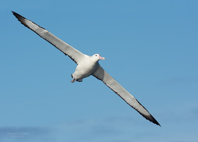 Southern Royal Albatross, Eaglehawk Neck Pelagic, TAS, July 2015-4