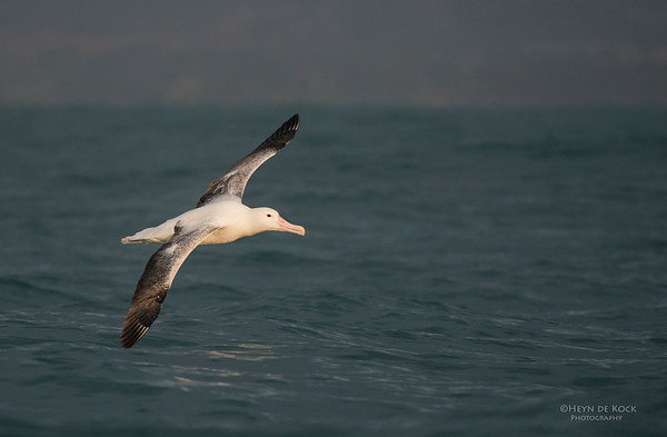 Southern Royal Albatross, Kaikoura, SI, NZ, Jan 2013