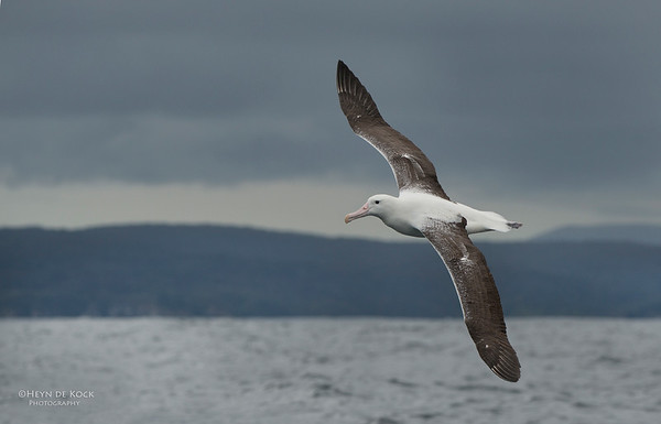 Southern Royal Albatross, Stewart Island Pelagic, SI, NZ, Jan 2013-1