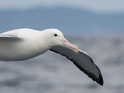 Southern Royal Albatross, Eaglehawk Neck Pelagic, TAS, Sept 2016-4
