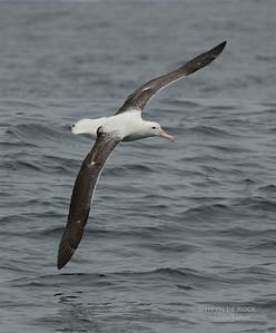 Southern Royal Albatross, Stewart Island Pelagic, SI, NZ, Jan 2013-2