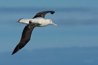 Southern Royal Albatross, Eaglehawk Neck Pelagic, TAS, July 2015-3