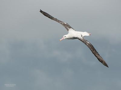 Wandering Albatross, Wollongong Pelagic, NSW, Aus, Aug 2014-5