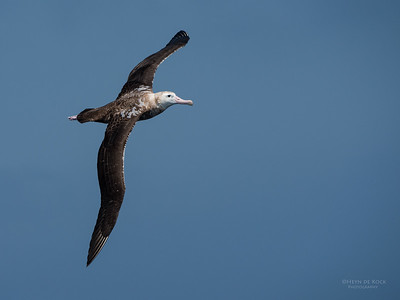 Wandering Albatross, Wollongong Pelagic, NSW, Aus, Oct 2014-3