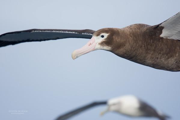 Wandering Albatross, imm, Eaglehawk Neck Pelagic, TAS, May 2016-1