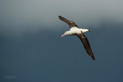 Wandering Albatross, Wollongong Pelagic, NSW, Aug 2014