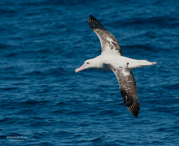 Wandering Albatross, Wollongong Pelagic, NSW, Aus, Aug 2013
