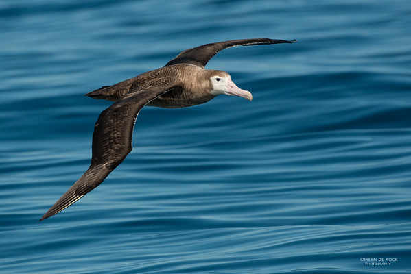 Wandering Albatross, Wollongong Pelagic, NSW, Aus, Aug 2014