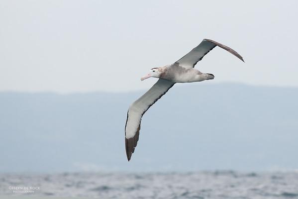 Wandering Albatross, Wollongong Pelagic, NSW, Oct 2009