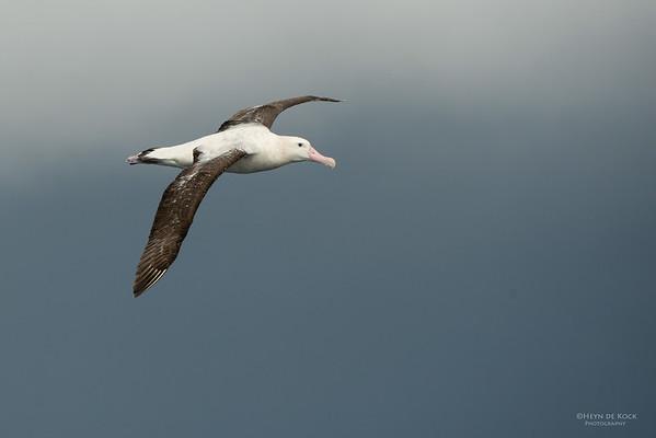 Wandering Albatross, Wollongong Pelagic, NSW, Aus, Aug 2014-1