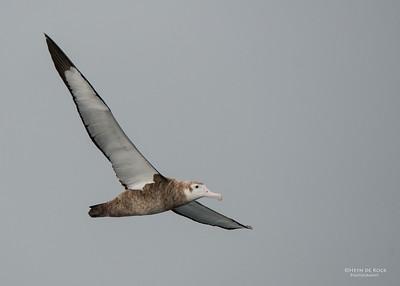 Wandering Albatross, imm, Wollongong Pelagic, NSW, Aus, Aug 2014-5